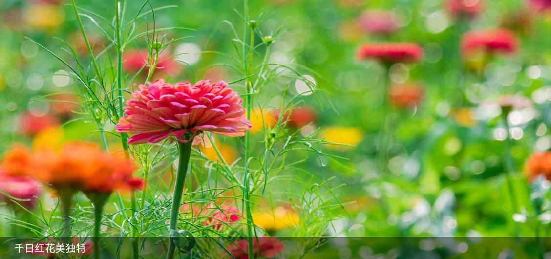 千日红花美独特
