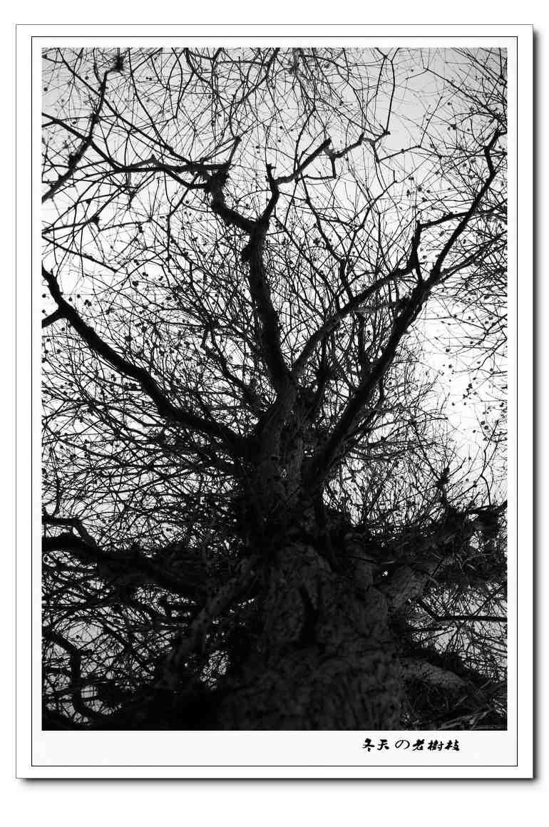 冬天の老树枝